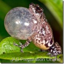 bubble nest frog